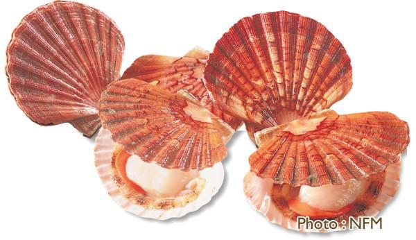 Les produits stars de la p che de normandie - Cuisiner le corail des coquilles saint jacques ...