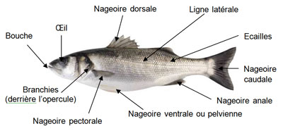 Descriptif Poissons ronds