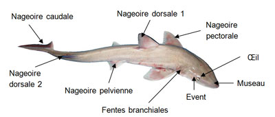 Descriptif Requins