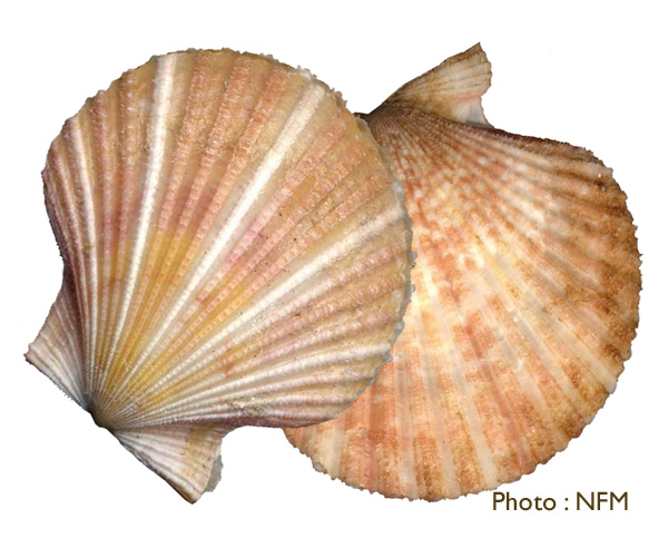Pétoncle Chlamys opercularis