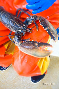 Peche Casier Homard Cotentin 04 pose elastique 01